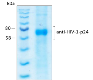 Coomassie-stained SDS-PAGE of purified Anti-HIV1 p24 scFV recombinant antibody (HRP)
