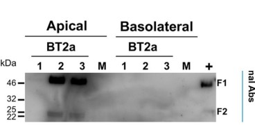 Adapted from Touzelet et al. 2020. Mol Cell Proteomics. 19(5):793-807. PMID: 32075873. Figure. Apical washes and basolateral medium collected at 96 hpi from infected cultures, and pooled samples from mock-infected cultures were analyzed individually by Western blotting (12 μl/lane). Immunoblot analyses was carried out using a monoclonal antibody specific for the matrix protein  fusion (F), followed by appropriate HRP-conjugated secondary antibodies for enhanced chemiluminescence detection.