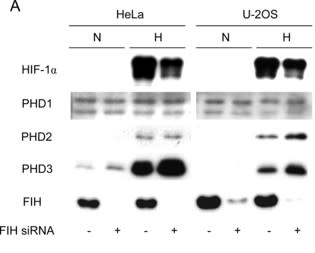 Adapted from Stolze et al. 2004. J Biol Chem; 279(41):42719-25. PMID: 15302861 Figure. Immunoblot analysis for HIF-1α, PHD1–3, and FIH using whole cell extracts from HeLa and U-2OS cells treated with control (–) or FIH (+) siRNA prior parallel incubation in normoxia (N) and hypoxia (H, 16 h, 1% oxygen).