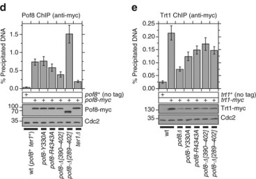 Adapted from Mennie et al. 2018. Nat Commun. 9(1):586. PMID: 29422503. Figure. Expression levels of (d) Pof8 and (e) Trt1 used in ChIP assays were monitored by western blot analysis. Anti-Cdc2 blots served as loading control. Molecular weight (kDa) of size markers are also indicated