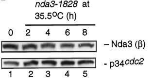Adapted from Radcliffe et al. 1998. Mol Biol Cell. 9(7):1757-71. PMID: 9658169. Figure. ts nda3-1828 (DH12) Cell extracts (20 μg) were run in SDS-PAGE, and immunoblotting was performed with mouse anti-β-tubulin antibody (Sigma) (top) or anti-Cdc2 antibody as a loading control (bottom)