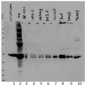 Western blot was performed on total cell lysates from transfected 293T cells (lane 1) or zebrafishes at different stages of development (lanes 3 to 10). Luminescence markers were loaded in lane 2. Anti-VTN4 [10H1] detects endogenous VTN4, with the protein level varying according to the development stages in zebrafish