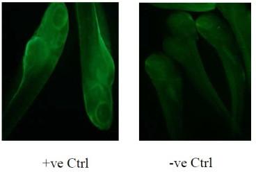 Immunofluorescence using anti-BHMT [3E7] on Zebrafish embryos. +ve and -ve controls correspond to the presence and absence of anti-BHMT [3E7] respectively.