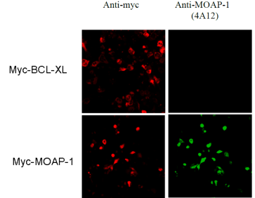 Immunofluorescence was performed of U20S cells transfected with myc-MOAP-1 using anti-myc (Red) and anti-MOAP-1 [4A12]. U20S cells transfected with myc-BCL-XL were used as a negative control