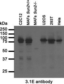 Western blot analysis of 3.1E antibody.  Whole cell lysates from mouse (C2C12, mouse adult fibroblasts (MAFs) and human (U2OS, 293T, Hela), cell lines were separated on SDS-PAGE gel, transferred to nitrocellulose membrane and blotted with anti-Sun2 of 3.1E antibody. Both primary and secondary antibodies were diluted in blocking buffer (5% nonfat dry milk re-suspended in 0.1% Tween and 1X PBS). The predicted molecular weight is 80.3kD and 81.6kDa for human and mouse Sun2 respectively. The observed band in Sun2-null MAFs most likely represent a truncated Sun2 cause by targeted exons deletion while generating Sun2 knockout mice.