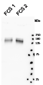Western Blot: 