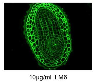 Immunofluorescence micrograph showing the binding of the LM6 (10 μg/mL) to a section of a tobacco seed