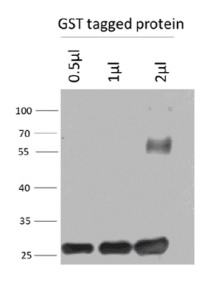 Image for Anti-GST scFv recombinant antibody (HRP)
