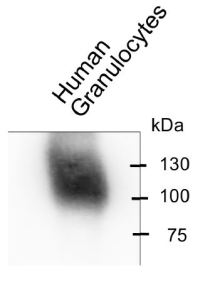 Western blot analysis of human granulocyte lysate: Detection using 10 μg/ml Anti-CEACAM8 [6/40c] followed by HRP-coupled secondary pAb. Visualized by Chemiluminescence detection.