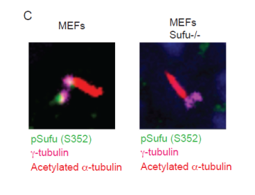 Immunofluorescence staining of the indicated proteins in cyliated mouse embryonic fibroblasts (MEFs) and MEFs knockout for Sufu-/-. The images show pSufu accumulates at the base of the cilium, similarly to the phosphorylated S342 described before. In this case MEFs lacking Sufu do not show the same signal indicating specificity.