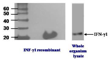 Western blot analysis of IFN-gamma1 using clone N3P3A5*A10.