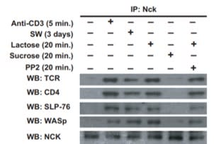 Adapted from Chen et al. 2007. J Biol Chem; 282(48):35361-72. PMID: 17897956. Figure. Jurkat T cells pretreated as indicated were lysed, immunoprecipitated (IP) for Nck, and Western blotted (WB) as indicated.
