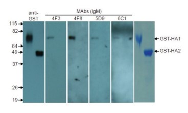 Figure 1: Reactivities of MAbs to HA1 domain. 
