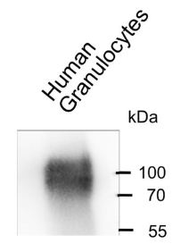 Western blot analysis of human granulocyte lysate: Detection using 10 μg/ml Anti-CEACAM6 [1H7-4B] followed by HRP-coupled secondary pAb. Visualized by Chemiluminescence detection.