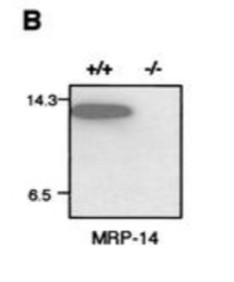 Adapted from Hobbs et al. 2003. Mol Cell Biol; 23(7):2564-76. PMID: 12640137. Figure. Western blot analysis of bone marrow cell lysate stained with MRP-14 (S100A9). Molecular size markers lysozyme (14.3 kDa) and aprotinin (6.5 kDa) are shown (n = 5). MRP-14 protein is absent in MRP-14−/− mice.