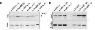 Adapted from Frye et al. 2006. Curr Biol; 16(10):971-81. PMID: 16713953 Figure. Western blots showing upregulation of Misu by activation of MycER in human keratinocytes (k) compared to controls (k-pBabe; k-106ER). Actin and tubulin served as loading controls.