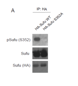 Detection of Sufu, phosphorylated S352 Sufu and HA after immunoprecipitation of HA tagged Sufu Wild Type and Sufu S352A from HEK293T cells. The top panel (pSufu (S352)) was probed with anti-phospho-Sufu polyclonal antibody showing the anti-phospho-Sufu polyclonal antibody is specific and recognises only the phosphorylated form of Sufu but not a mutant where S352 is mutated to alanine. In the middle panel (Sufu), the anti-Sufu polyclonal antibody was used to probe and shows the anti-Sufu polyclonal antibody binds to either form of Sufu independent of the phosphorylation status. The bottom panel shows the same immunoprecipitation preparations probed with an anti-haemagglutinin (HA) antibody, this detects both proteins via their HA tag.