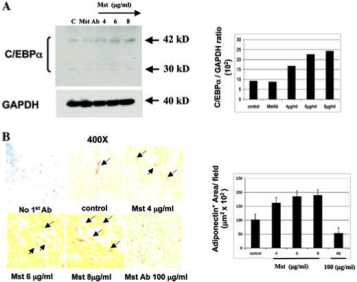 Clone Myo 2/1A used to detect C/EBP α to assess adipogenic differentiation C3H 10T(1/2) by IHC. B, Cells were incubated for 4 d (C/EBPα) and 1 wk (adiponectin) with graded concentrations of recombinant Mst-113 or anti-Mst antibody, and plates were divided for either trypsination and Western blot on the cell extracts (30 μg/lane) with an antibody against C/EBP-α. Source: Artaza et al. 2005. Endocrinology. 146(8):3547-57. PMID: 15878958.