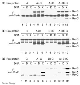 Adapted from Davies et al. 1998. Curr Biol; 8(12):725-7. PMID: 9637927. Figure. Coimmunoprecipitation of RuvABC. Combinations of the three Ruvproteins (A, B and C) were incubated without DNA (−), with duplex DNA (D) or with Holliday junction X0 DNA (X). After incubation, 50 μl BSA (50 mg/ml) was added and protein–DNA complexes were immunoprecipitated (IP) using 20 μg (a) anti-RuvA, (b) anti-RuvB or (c) anti-RuvC monoclonal antibodies coupled to protein-G–Sepharose beads using dimethyl pimelimidate. Complexes were analysed by SDS–PAGE followed by western blotting with a mixture of rabbit anti-RuvA, anti-RuvB and anti-RuvC polyclonal antibodies.