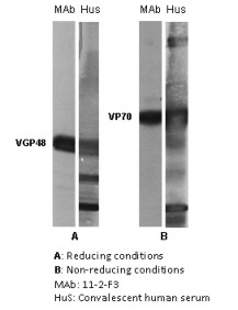 "The antigen present in all lanes was gradient purified RSN-A2 virus (subgroup A). First antibodies: lanes ""mAb"": 11-2-F3 antibody; lanes ""Hus"": RS virus convalescent human sera. Panel A: Antigen analysed by electrophoresis using reducing conditions (SDS and mercapthoethanol). Panel B: Antigen analysed by electrophoresis using non reducing conditions (SDS only) (Gimenez et al., 1986).