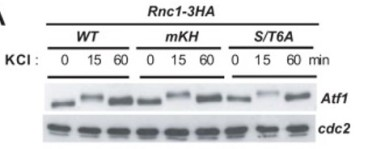 Adapted from Prieto-Ruiz et al. 2020. mBio; 11(1). PMID: 31911490. Figure. Total extracts from growing cultures of Rnc1-3HA (wild-type), Rnc1(mKH)-3HA, and Rnc1(S/T6A)-3HA cells growing exponentially and were treated with 0.6M KCl for the indicated times. Total levels of Atf1 were detected by incubation with anti-Atf1 antibody. Anti-Cdc2 was used as a loading control.