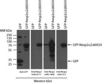 HEK293 cells transiently expressing either GFP alone or GFP fused a small Nesp2 isoform (Nesp2a2DKASH) lacking the C-terminal KASH domain. This small isoform contains the ~180 residue Nesp2 polypeptide that was employed in the immunogen. Total cell lysates were analyzed by western blot employing either a rabbit anti-GFP or culture supernatant from three independent anti-Nesp2 hybridoma clones (6C11, 10H8 and 5C3)
