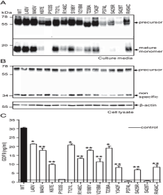 Clone 53/1 used to detect GDF9 expression in oocyte-medium by western blot. ... Samples were detected under reducing conditions using GDF9 mAb53 specific for the mature domain. The 60-kDa GDF9 precursor and 20-kDa mature monomer are shown. Source: Simpson et al. 2014. J Clin Endocrinol Metab. 99(4):E615-24. PMID: 24438375.