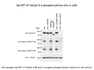 Ser157 of HsCyk-4 is phosphorylation site in cells. nti-Phospho RacGAP1 (Ser157), Polyclonal [pS157 HsCyk-4] recognize phosphorylated HsCyk-4 in cell extracts.