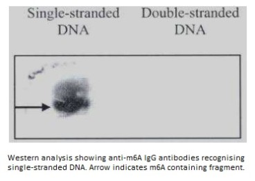Image for Anti-N6-methyladenosine (m6A) [17-3-4-1]