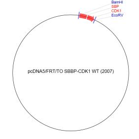 Image for pcDNA5/FRT/TO SBBP-CDK1 WT (2007) Vector