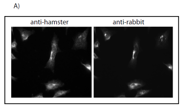 Indirect immunouorscence on PFA fixed HEK293 cells labelled with hamster anti-Atg9 (Left) and rabbit anti-Atg9.