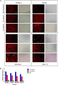 Adapted from Stawikowski MJ, Aukszi B, Stawikowska R, Cudic M, Fields GB. Glycosylation modulates melanoma cell α2β1 and α3β1 integrin interactions with type IV collagen. J Biol Chem. 2014 Aug 1;289(31):21591-604. doi: 10.1074/jbc.M114.572073. Epub 2014 Jun 23. PMID: 24958723; PMCID: PMC4118119. The cell surface concentrations of the α2 and α3 subunits of the α2β1 and α3β1 integrins evaluated for melanoma cell lines by immunocytochemistry. A, image analysis for each cell line for both receptor subunits and IgG background. Bars indicate 100 μm. B, semiquantitative numerical values for cellular integrin concentrations, obtained by relative fluorescence intensities of the same number of cells, normalized by area measured and by subtraction of the autofluorescence of the cells.