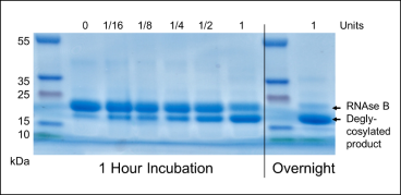 Activity: Endo Tv acting on 10 µg bovine RNase B. (1 Hour Incubation) Serial dilution of 1 U Endo Tv. (Overnight) Extended incubation with 1 U.