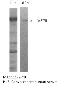 """The antigen was gradient purified RSA2 virus (subgroup A). First antibodies: Lane """"Hus"""": RS virus convalescent human sera; Lane """"mAb"""": 11-2-C9 antibody. The antigen was analysed by electrophoresis using non-reducing conditions (SDS alone) for Lane """"mAb"""" and reducing conditions for Lane """"Hus"""" as described in Gimenez et al. (1986). The identity and molecular weight of the protein target of this antibody was validated by including within the immunoblot assay (as a marker) a convalescent serum sample from a RS virus infected patient. The protein specificities of the antibodies induced in the human convalescent serum is described in Gimenez et al. (1987)."""