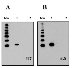 Immunodetection of native IL-22 production within gill tissues after challenging with the bacterial fish pathogen Yersinia ruckeri. A: Relative expression of IL-22 in fish gill tissues as determined by qPCR. B: Immunodetection of IL-22 protein in the gill after purifying protein samples from Tri® Reagent. M: Molecular weight marker; +: Recombinant IL-22; -: Recombinant IL-2B. Fish number 1 exhibited low levels of IL-22 gene expression (A) and did not display detectable levels of IL-22 protein (B). Conversely, fish number 2 showed high levels of IL-22 gene expression (A) and produced detectable amounts of IL-22 protein (B). The MHC Class II antibody was used as a protein quality/loading control.