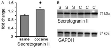 Adapted from Uys JD, Grey AC, Wiggins A, Schwacke JH, Schey KL, Kalivas PW. Matrix-assisted laser desorption/ionization tissue profiling of secretoneurin in the nucleus accumbens shell from cocaine-sensitized rats. J Mass Spectrom. 2010 Jan;45(1):97-103. doi: 10.1002/jms.1697. PMID: 19918966; PMCID: PMC4153729. Western blot analysis of secretogranin II. (A) Secretogranin II was upregulated following 3 weeks of abstinence after cocaine sensitization. Data points are depicted as mean ± SEM fold change in optical density from saline (S) and cocaine (C) animals. N = 8/group. * p ≤ 0.05 comparing S with C using a Student's t-test. Data were normalized using GAPDH as loading control. (B) Representative secretogranin II and GADPH immunoblot.