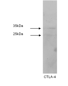 Western blot was performed using Jurkat cell lysates. Two products are detected, slightly larger than anticipated-possibly due to glycosylation.