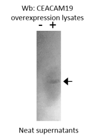Western blot of cell lysates probed with Anti-CEACAM19 [Z5P2D9*A9]. CEACAM19 overexpression lysate from Novus Biological Cat: NBP2-06675.