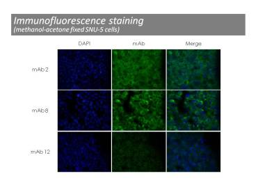 Immunofluorescence was performed on methanol fixed SNU-5 cells using anti-c-Met [8]