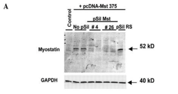 Clone Myo 2/1A used to detect Myostatin expression by Western Blot with detection at 52 kDa. A: Luminol detection of Western blots with monoclonal antibody against Mst at 3 d after transfection. Source: Artaza et al. 2005. Endocrinology. 146(8):3547-57. PMID: 15878958.