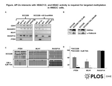 Adapted from Bennett et al. 2009. PLoS One. 4(9):e6931. PMID: 19742317 Figure. AP-2α interacts with HDAC1/2, and HDAC activity is required for targeted methylation in HNSCC cells. a) ChIP analysis was performed using AP-2α, SP1, HDAC1, and HDAC2 antibodies in SCC22B cells with and without AP-2α downregulation. ChIP eluate was then utilized for quantitative PCR using CDH1, RASGRF2, MLH1, RASSF1A, and PTEN promoter primers. b) Western blot analysis demonstrating increased acetylation following Trichostatin A (TSA) treatment. c) Bisulfite sequencing analysis was performed in SCC22B cells before and after TSA treatment. Solid circles represent methylated CpGs; whereas, open circles represent unmethylated CpG sites. d) Graphical representation of the average methylation percentage in the 3 target genes analyzed. * P-value = 0.0452; ** P-value = 3.77×10−6.