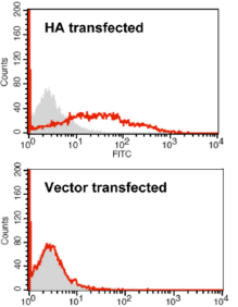 FACS analysis on 293T cells transfected either with a cDNA construct expressing Hatay04 HA or with an empty vector. Cells were stained with anti-HA (H5N1) [9F4] followed by a FITC-conjugated anti-mouse IgG (open histograms) or with FITC-conjugated anti-mouse IgG only (shaded histograms).