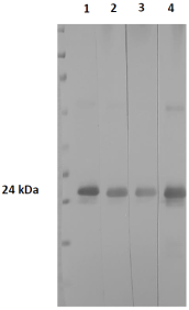 Figure 1. Western blot depicting various dilutions of protein A-HRP; used as a secondary replacement Primaries: Lane 1-4 loaded with p24 antigen and detected with CBP Anti-HIV-1 p24 full (human) (CBP_0002.3) at 1/5000. Secondaries: Lane 1; PtX™ SpA-HRP (1/1000). Lane 2; PtX™ SpA-HRP (1 in 5000). Lane 3; PtX™ SpA-HRP (1 in 10 000). Lane 4; commercial anti-human-HRP (1/1000). Chromogenic HRP substrate used; Thermo ScientificTM, 1-stepTM TMB-Blotting substrate solution, (34018). Developed for 20 minutes.