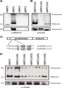Clone 28A used to detect prodomain mutations in human MBP15 biosynthesis by Western Blot. Samples were detected under reduced conditions using a human-specific BMP15 mAb (A) or an anti-FLAG M2 antibody (B). C, Five nonconserved residues (boldface type, underlined) within the α1-helix of the hBMP15 prodomain (Leu44, Source: Al-Musawi et al. 2013. Endocrinology. 154(2):888-99. PMID: 23284103.Glu46, Glu47, Leu49, and Glu50) were substituted with the corresponding mBMP15 residues (Ser43, Leu45, Asp46, Ala48, and Lys49) using site-directed mutagenesis.