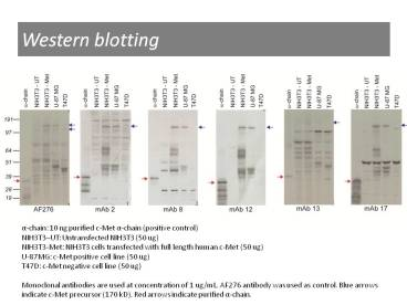Western blotting using anti-c-Met [13]