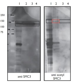 Figure. Immoblots using Anti-Acetyl SMC3 [EM5.5.2] and Anti-SMC3 [DJ5.2.3]. DJ5.2.3 immunoblots all forms of SMC3 while EM5.5.2 immunoblots only the Acetyl SMC3.