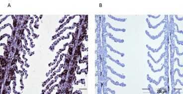 BLAST analysis has shown that the peptide immunogen used to develop Anti-TCPb antibody [F39P7F11] is 100% identical in most vertebrates including fish. Immunohistochemistry was performed on Atlantic Salmon gill filament. (A) positive immunostaining, predominately cytoplasmic, is observed in gill filament cells. Strong staining is detected in  undifferentiated basal and epithelial cells. (B) negative control (no primary antibody).