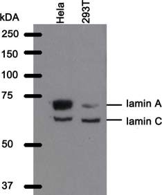Western blot analysis of WL4G10 antibody. Whole cell lysate from Hela cells and 293T cells were separated on SDS-PAGE gel, transferred to nitrocellulose membrane and stained with WL4G10
