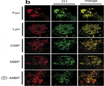 Clone 98/P12 used to stain OL cells and detect MBP levels by ICC. Colocalization of various lipids and proteins in the developing oligodendrocyte... b:Mature oligodendrocytes fixed at 15 DIV. Source: DeBruin et al. 2005. J Neurosci Res. 80(2):211-25. PMID: 15772981.