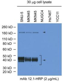 Endogenous c-Met expression in a panel of human gastric cell lines. mAb12.1-HRP recognises 190kD pro-s-Met and 50kD mature c-Met alpha chain. mAb 12.1-HRP does not recognise the 145kD mature c-Met beta-chain.